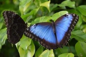 Blauer Morpho  (2)