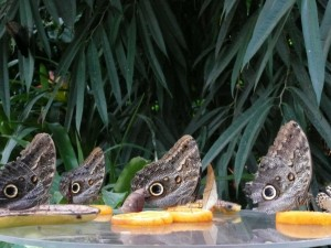 Bananenfalter (1)