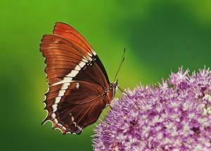 Schokoladenfalter, Siproeta epaphus Vorkommen Mittel- und Südamerika, 7,5 - 8,5 cm Flügelspanne groß. Foto Szwejk